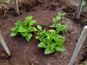 Глинистые почвы что сажать как 73